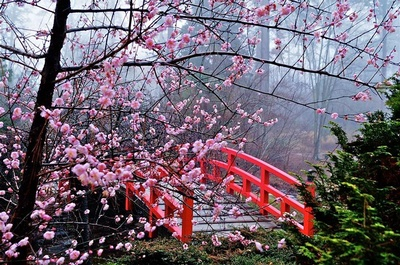 Cherry-Blossom-Festival-Japan.jpg